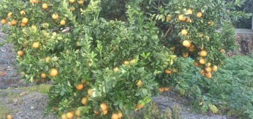 El naranjo alpujarra